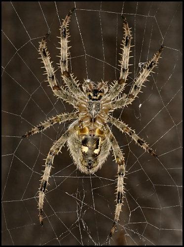 Garden Spider 3 by cambirder