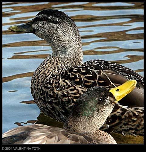 Duckies! by vtoth