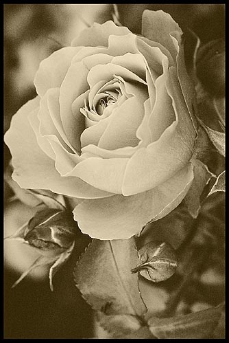 Sepia Rose by ariane