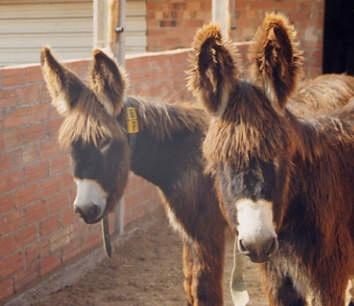 Catalan donkey by angeldani