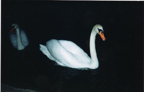 Darknes\'s swan by angeldani