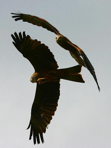 Black Kites by dave knowles