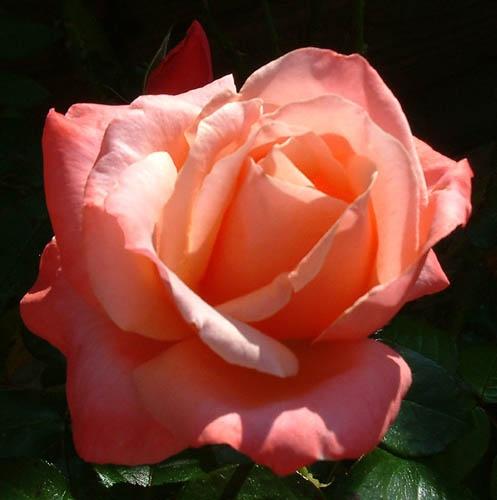 Rose 2 by panda