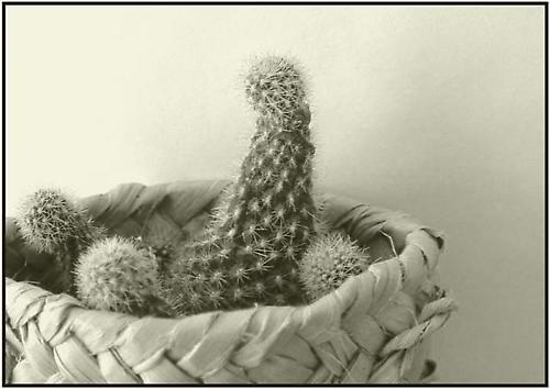 Cactus by delz