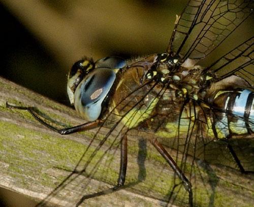 Dragonfly by demetrio