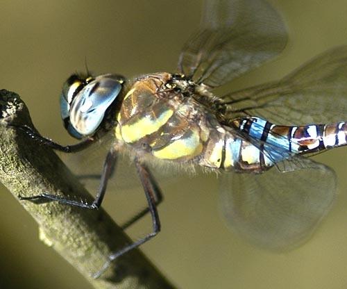 Dragonfly, Migrant Hawker by demetrio