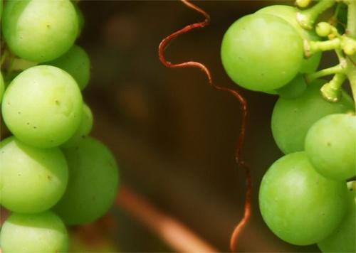 Grapes by jochen