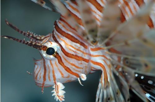 Lionfish (Pterois volitans) by shidee