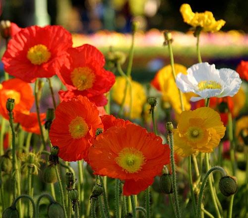 Poppys by eafy