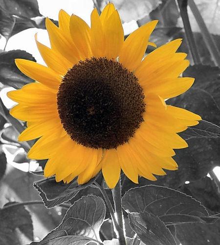 Sunflower by ckurle