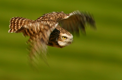 Burrowing owl in flight by dave knowles