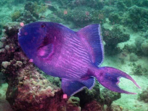 Giant Trigger Fish by demetrio
