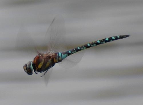 Hawker in flight by demetrio