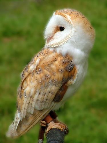 Barn Owl by eppy