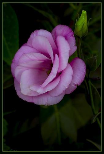 Rose by billma