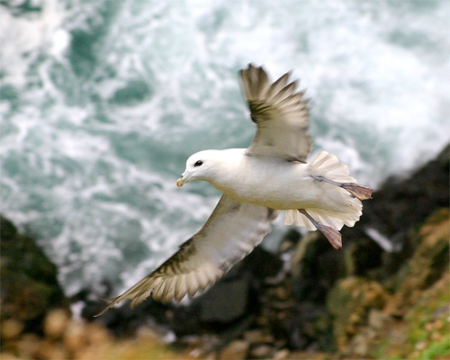 Fulmar by podgod