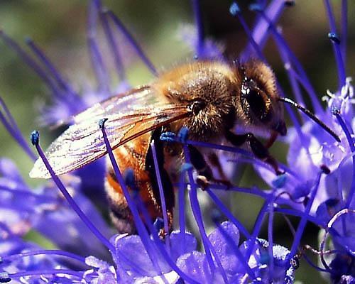 Bee in Blue Mist by street3