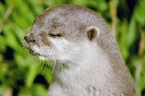 otter by grumpalot