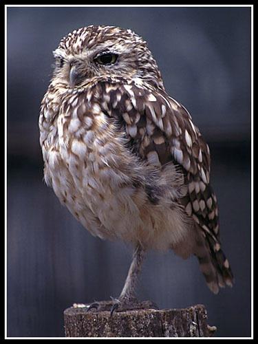 One-Legged Little Owl by seejayess