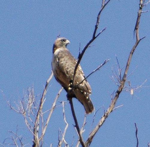 hawk by bigjoe
