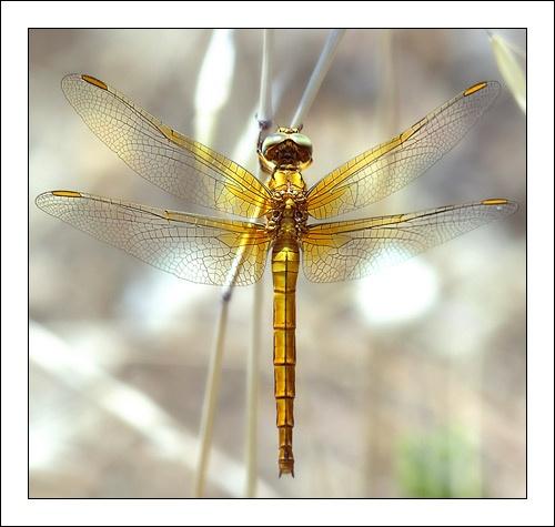 Dragonfly by phototerrorist