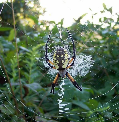 Garden Spider by mblanton