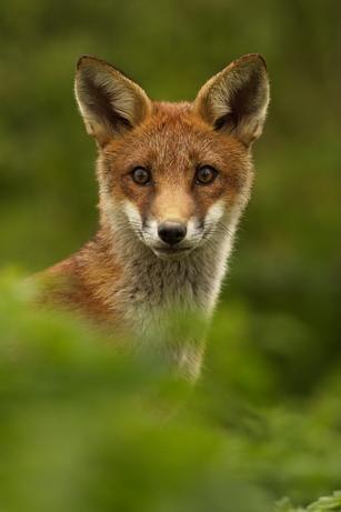 Fox by EOSPETE