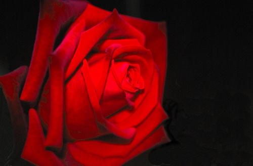 Red Rose by mucharska