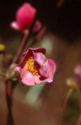 Anemone Japonica by mucharska