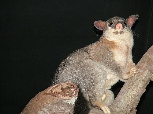 Possum by pea