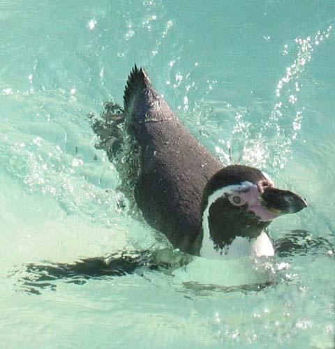 penguin by tabby