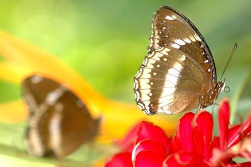 Butterfly by shidee