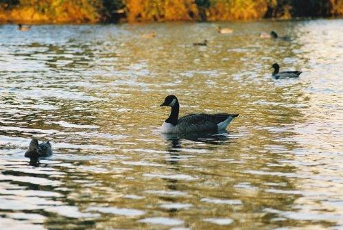 Duck by fredforsyth