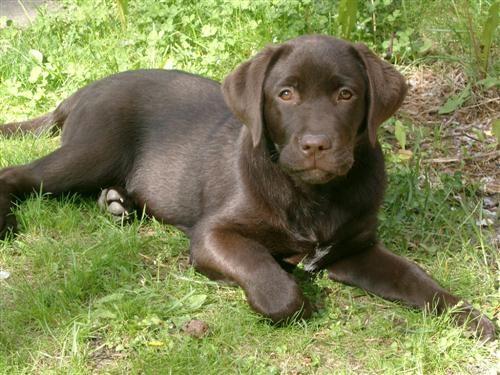 Labrador Puppy by suregork