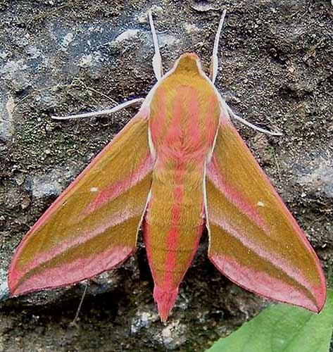 Hawk Moth by fieldperson