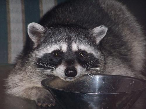Rocky Raccoon by ckurle