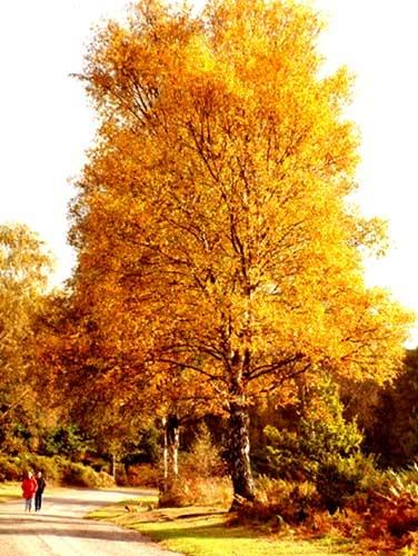 Autumn Birch by panda