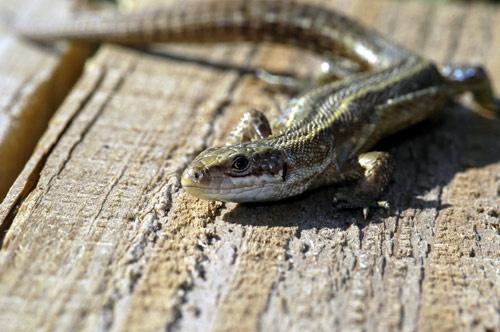 Lizard II by demetrio