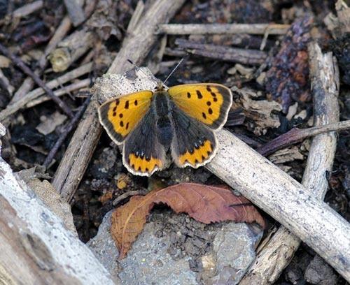 Small Copper Butterfly by demetrio