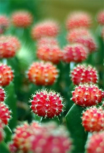 Cactus by shidee