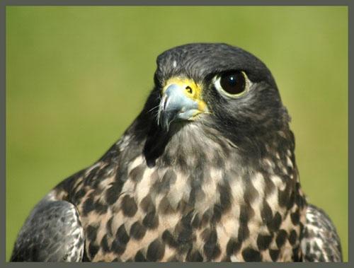 Peregrine Falcon by ajm