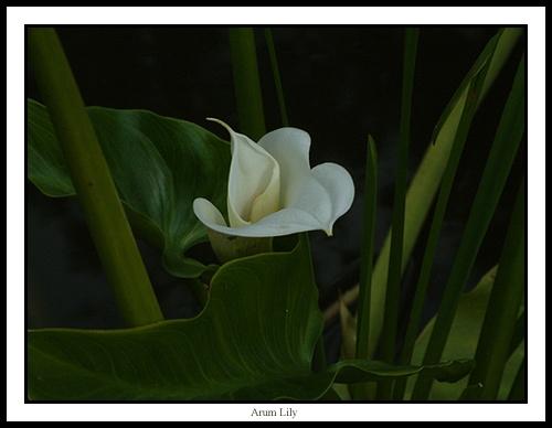 Arum Lily by alison duckett