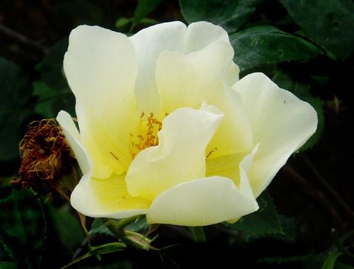 Last rose of summer....... by Dinda