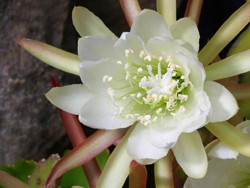 Cactus Flower by John-LS