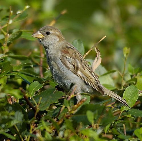 Sparrow by davefolky