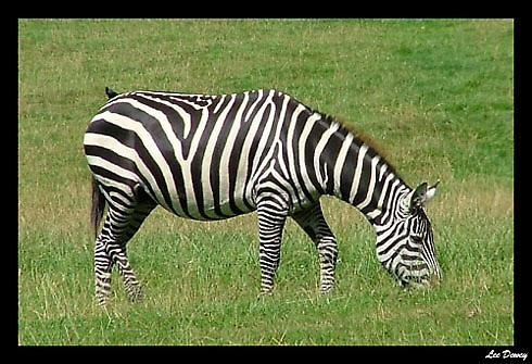Zebra by leedewey