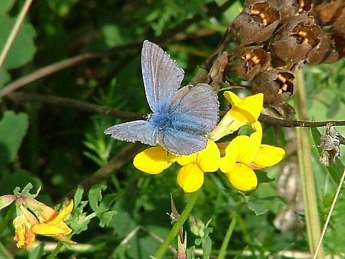 Common Blue by leedewey