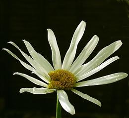 Last Daisy #12,678