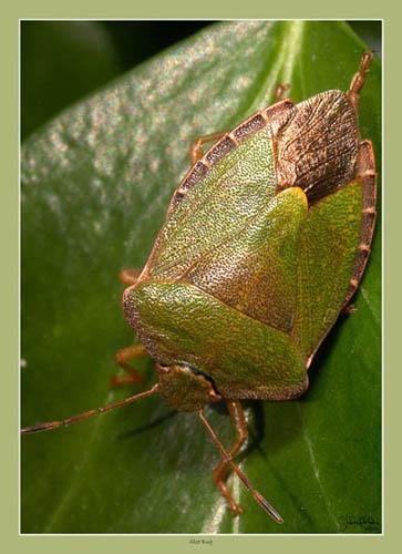 Green Shield Bug by seejayess