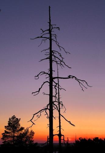 Dead tree by ojjo